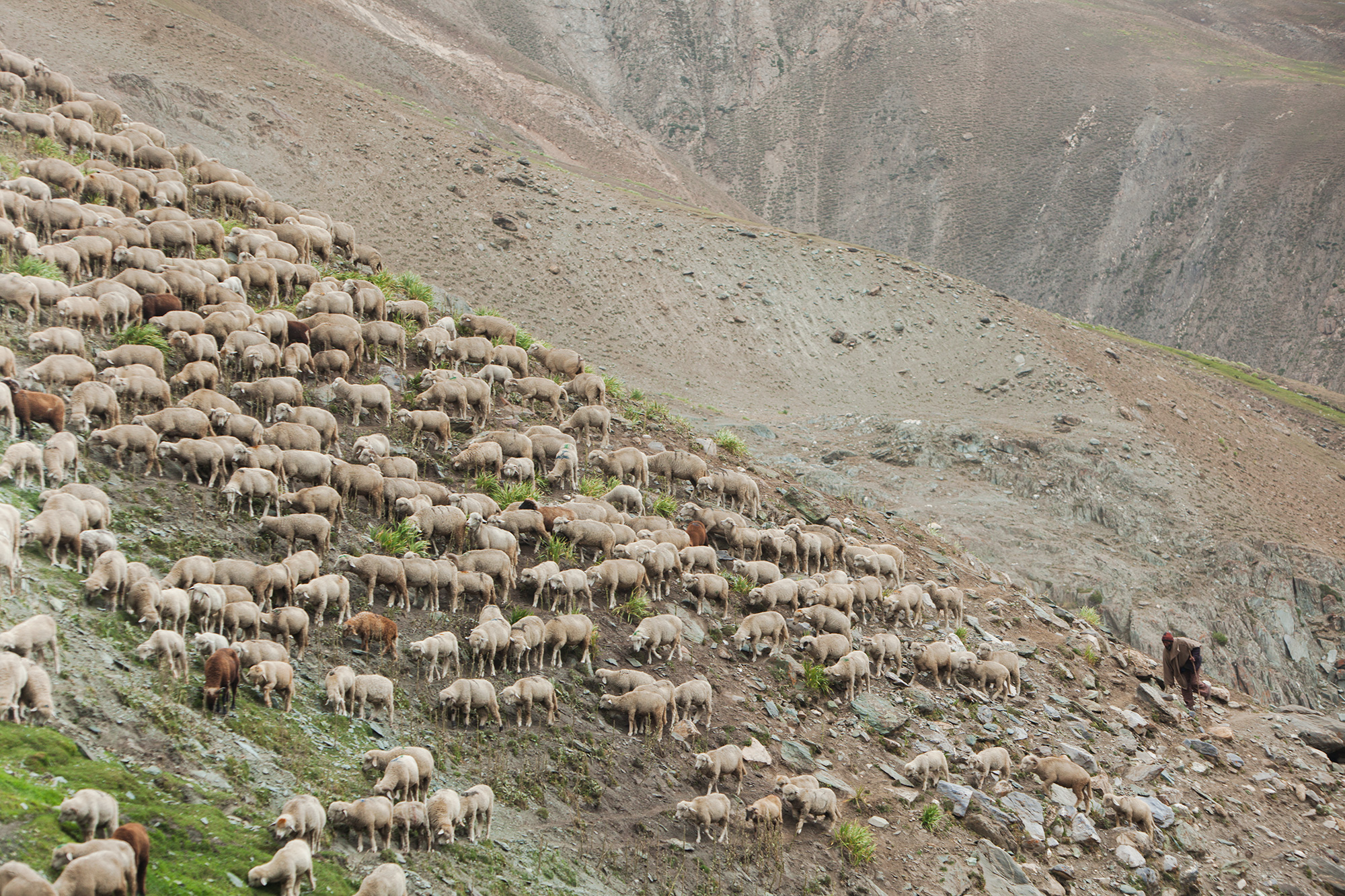 4 – Shopan Hill Sheep